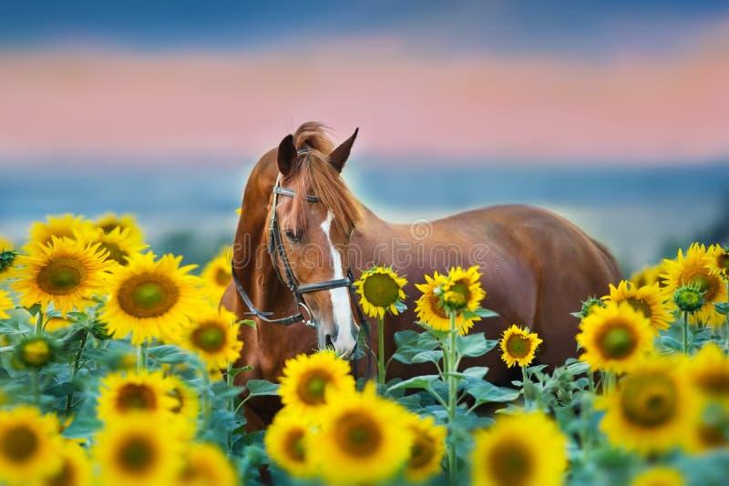 Pferd im Zaum in den Sonnenblumen lizenzfreie stockfotografie