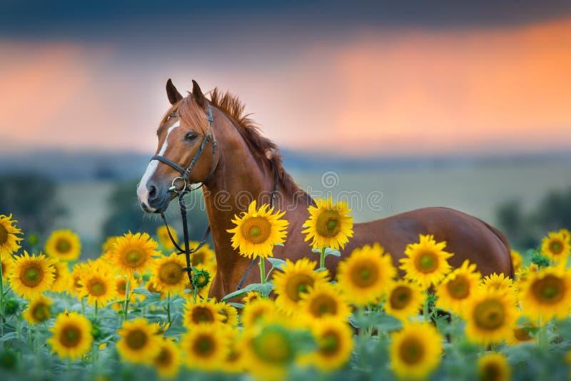 Pferd im Zaum in den Sonnenblumen stockfoto