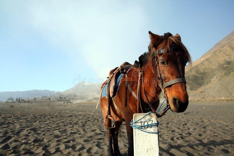 Pferd in Indonesien stockfoto