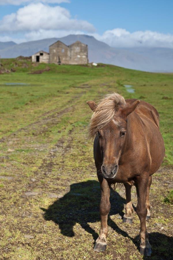 Pferd in Island stockbilder