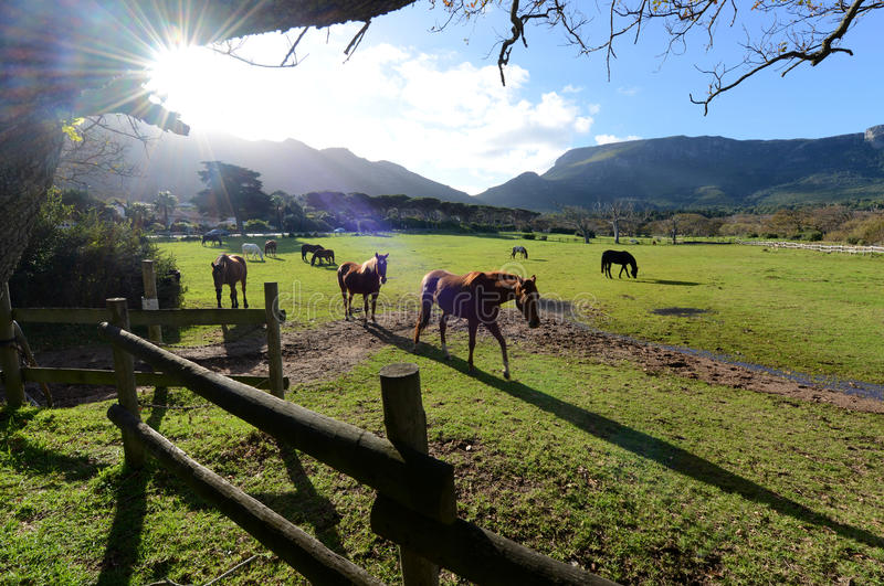 Pferd Meadww Cape Town stockbilder