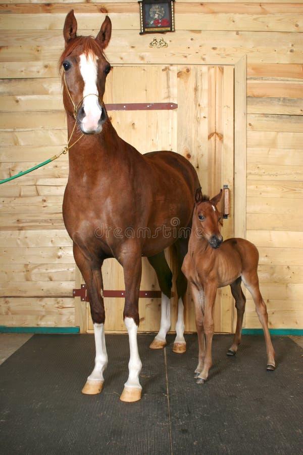 Pferd mit einem Fohlen stockfoto