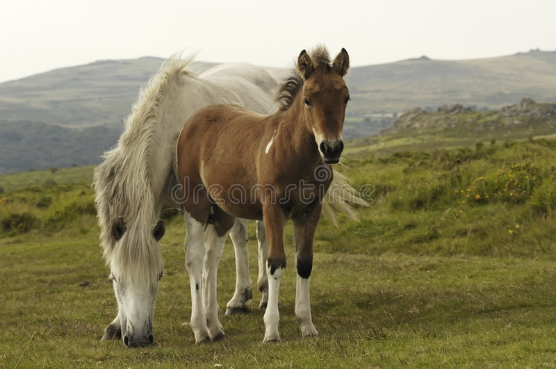 Download Pferd mit Fohlen stockfoto. Bild von bauernhof, ruhig - 3260366
