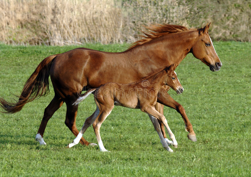 Pferd mit Fohlen stockfoto