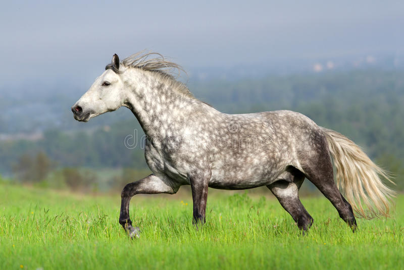 Pferd mit langem Mähnenlauf lizenzfreies stockbild