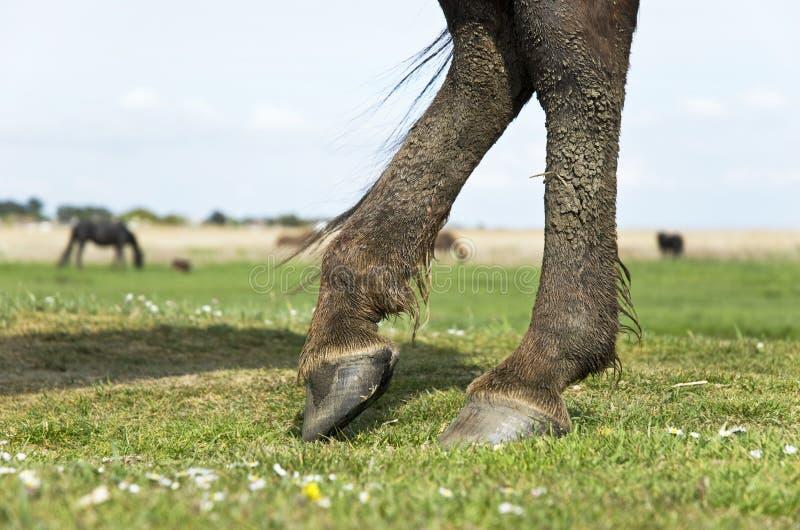 Pferd `s Fahrwerkbeine und Hufe stockfotografie
