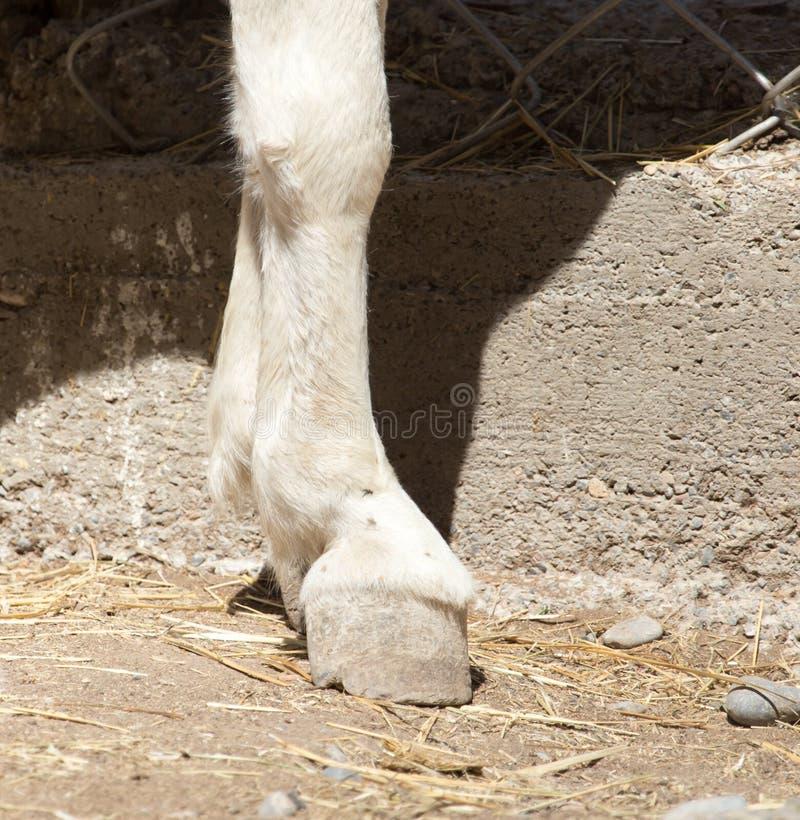 Pferd-` s Huf lizenzfreies stockbild