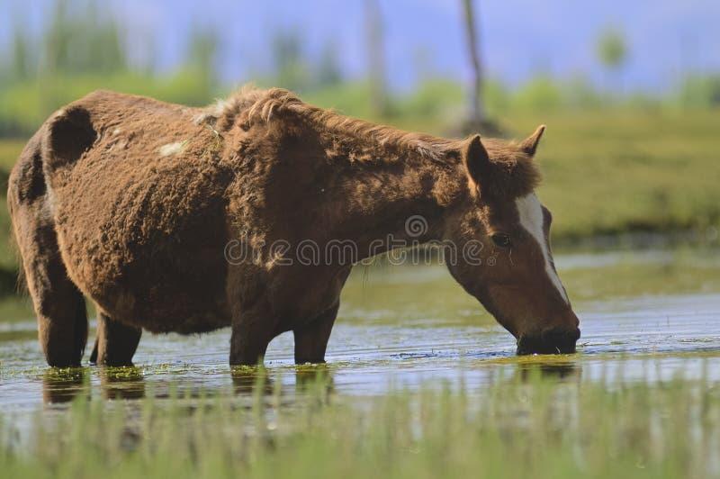Pferd und Fluss Indus, die Ebenen in Ladakh, Indien durchfließen, stockbild