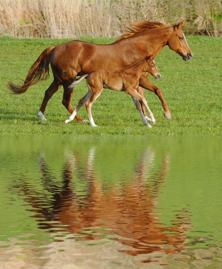 Pferd und Fohlen im Galopp lizenzfreies stockbild
