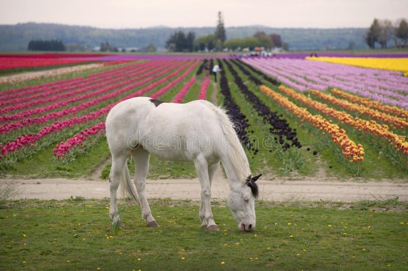 Pferd und Tulip Field lizenzfreie stockbilder