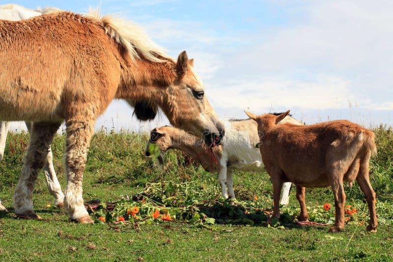 """Pferd- und Ziegen †""""Haupt für alte Tiere stockfotos"""