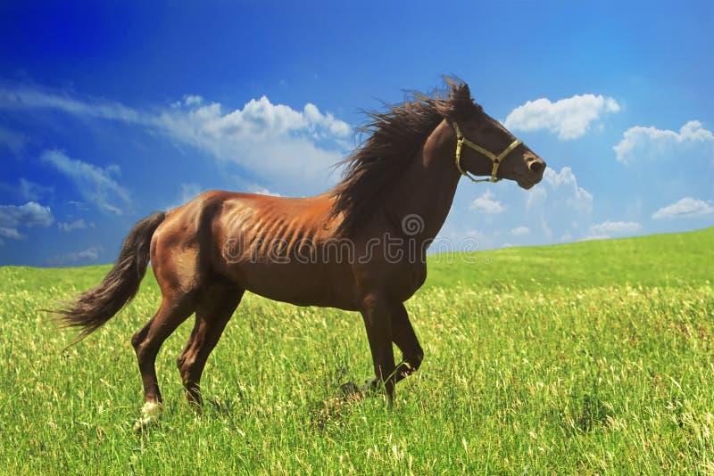 Pferd von Zimtfarbläufen frei an einem Galopp am Willen von hellen saftigen Hügeln mit grünem Gras stockbild