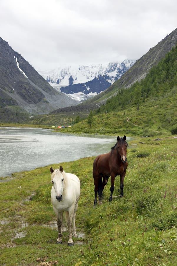 Pferde in Altai-Bergen, Russische Föderation stockbilder