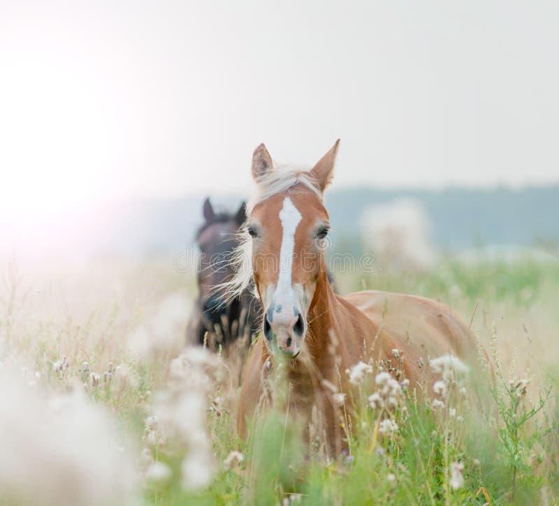Pferde auf dem Gebiet lizenzfreie stockbilder