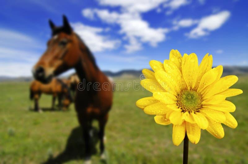Pferde auf dem Gebiet mit gelber Frühlings-Blume lizenzfreies stockbild