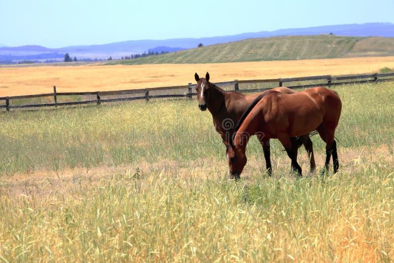 Pferde auf einem Gebiet, Staat Washington. lizenzfreie stockbilder