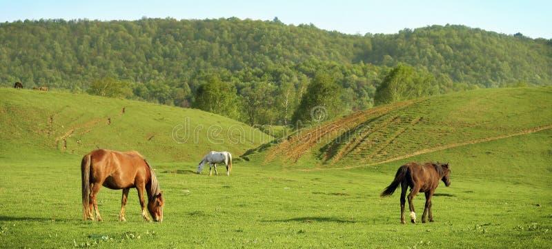 Pferde auf einer Wiese stockbilder