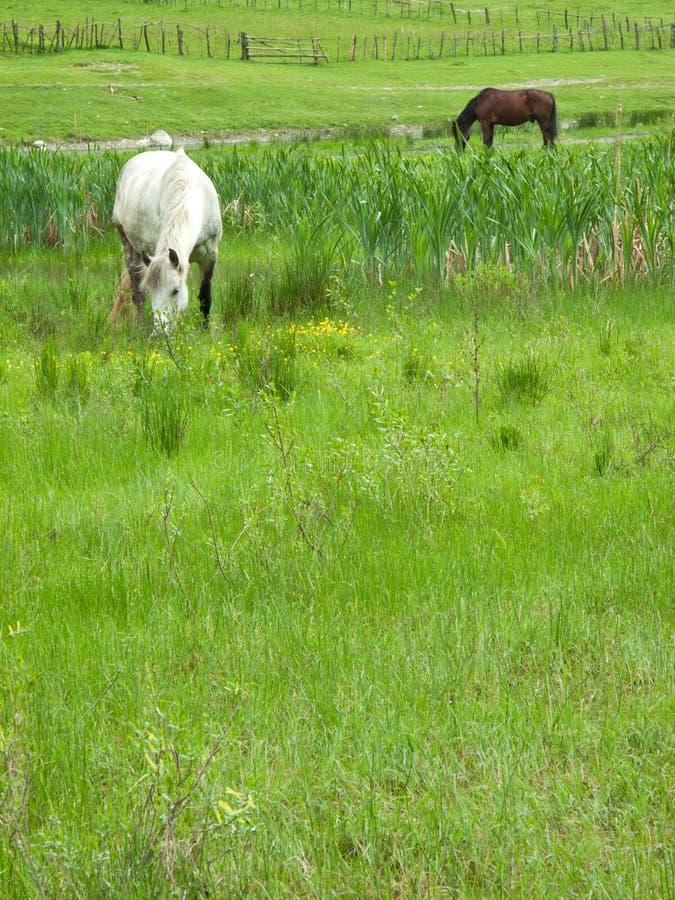 Pferde auf Wiese stockfoto