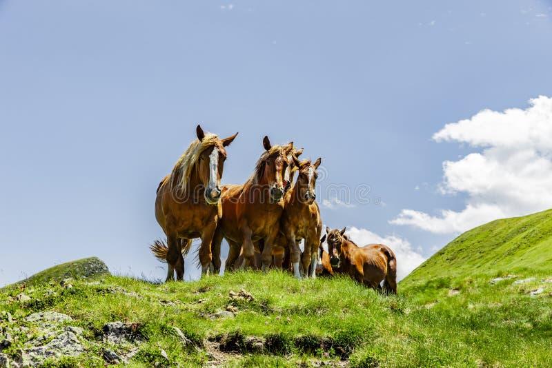 Pferde in den Pyrenäen im Sommer stockfoto