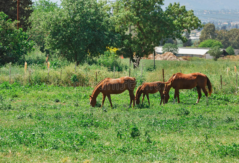 Pferde der dreiköpfigen Familie lizenzfreies stockbild