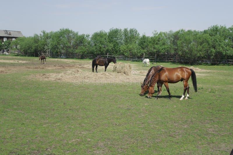 Pferde in der Koppel stockfotos