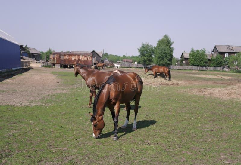 Pferde in der Koppel stockbilder