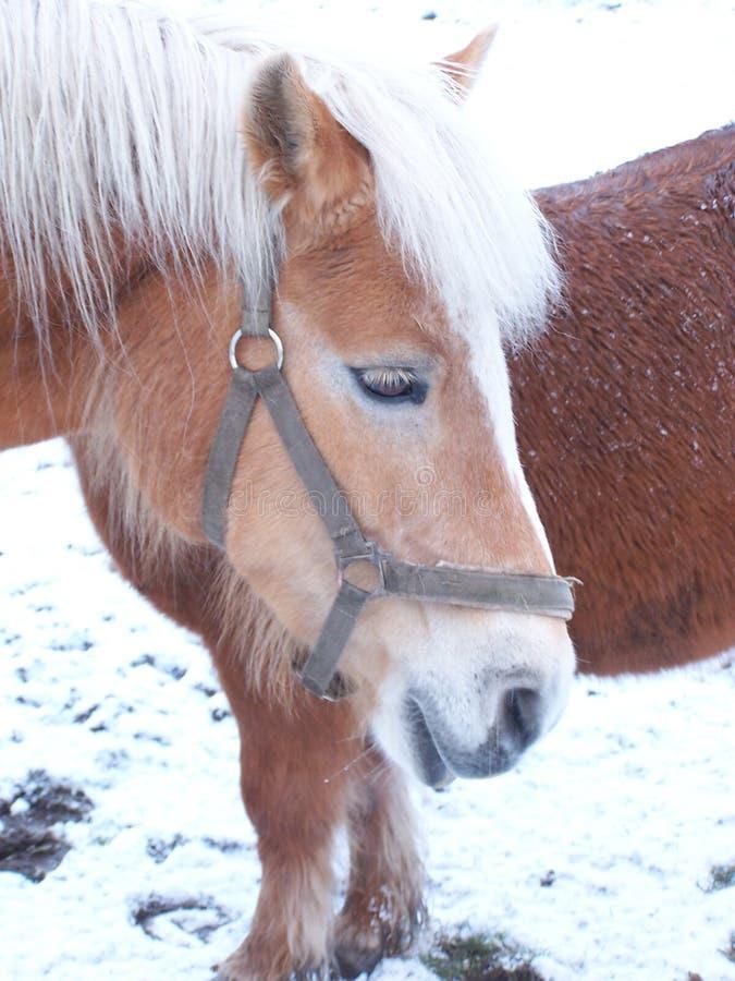 Pferde in der Winterzeit lizenzfreie stockfotografie