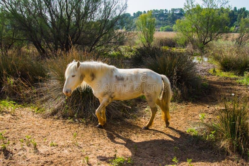 Pferde des Camargue lizenzfreie stockbilder