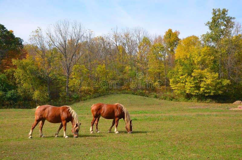 Pferde, die auf dem Gebiet weiden lassen stockbild