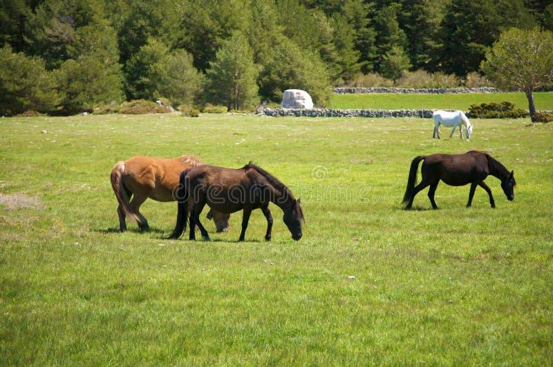 Pferde, die auf dem Gras weiden lassen stockfotos
