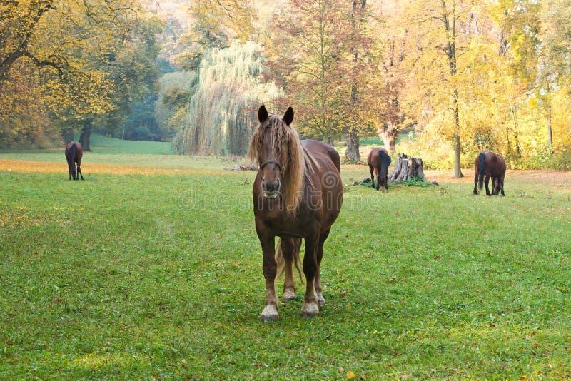 Pferde, die auf der Wiese weiden lassen stockfotografie