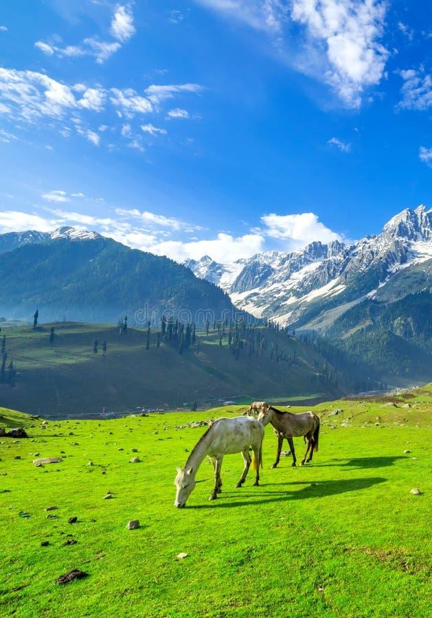 Pferde, die auf einem Hügel, Kaschmir weiden lassen lizenzfreies stockbild