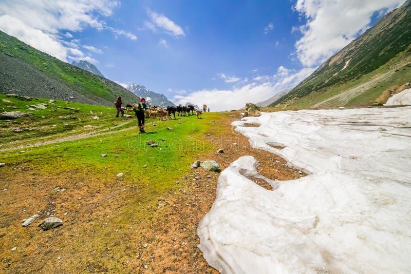 Pferde, die auf einem Hügel, Kaschmir weiden lassen lizenzfreies stockfoto