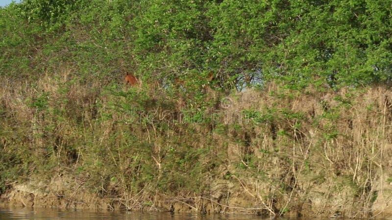 Pferde, die auf Flussbank gehen stock video footage