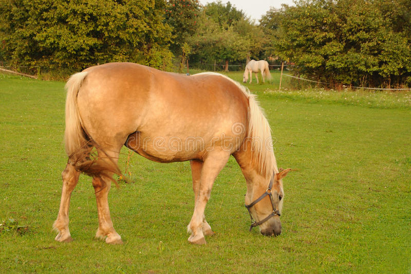 Pferde, die auf Gras speisen lizenzfreie stockfotos