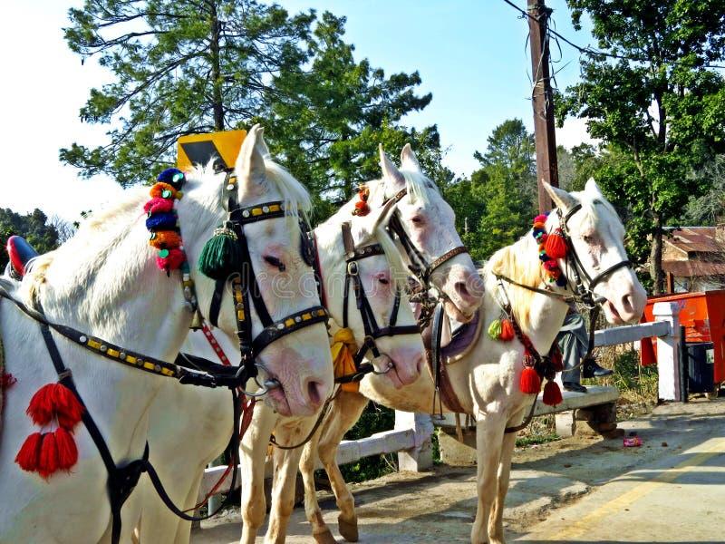 Pferde, die auf Touristen, Murree, Pakistan warten lizenzfreie stockfotos