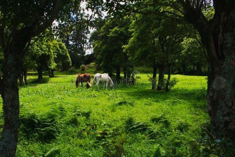 Pferde, die auf Weide unter den Bergen während des hellen Tages weiden lassen stockfoto