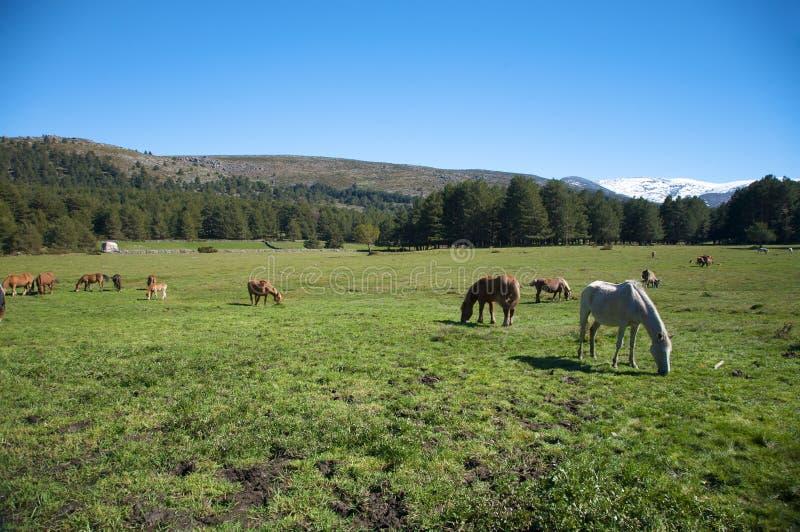 Pferde, die in Avila weiden lassen lizenzfreie stockbilder
