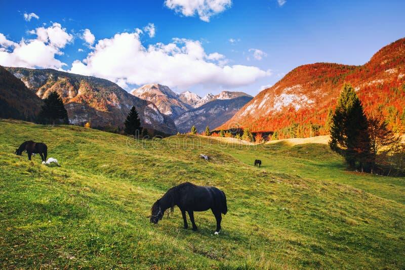 Pferde, die in den Alpenwiesen am Herbst weiden lassen lizenzfreies stockfoto