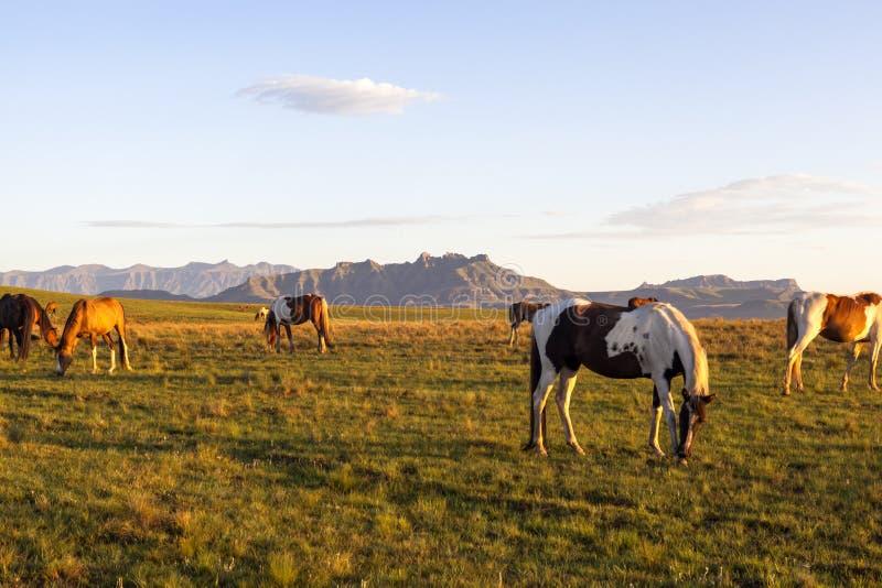 Pferde, die in den Bergen weiden lassen stockbilder