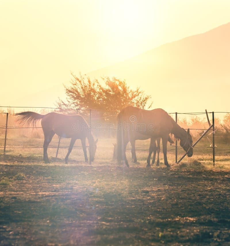 Pferde, die in den haras weiden lassen lizenzfreies stockbild