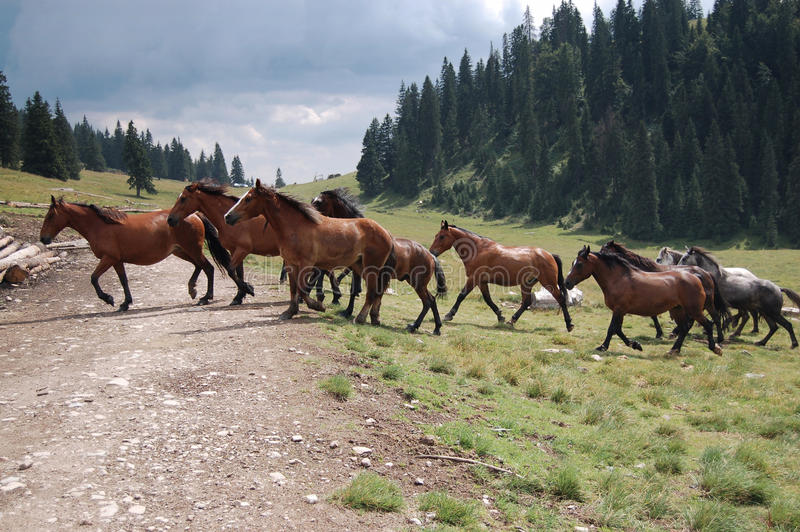 Pferde, die den Waldweg kreuzen lizenzfreie stockbilder