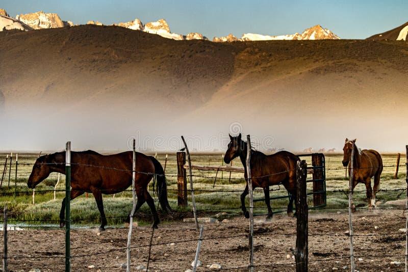 Pferde, die zur Ranch-Hürde nahe Bridgeport, Kalifornien zurückgehen stockfoto