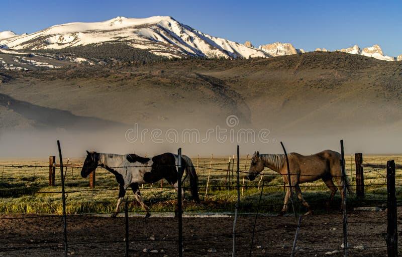 Pferde, die zur Ranch-Hürde nahe Bridgeport, Kalifornien zurückgehen lizenzfreie stockbilder