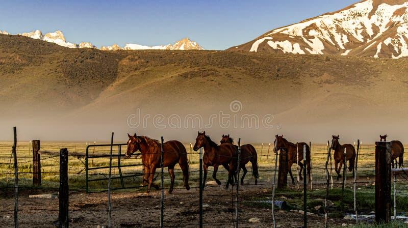 Pferde, die zur Ranch-Hürde nahe Bridgeport, Kalifornien zurückgehen stockbild