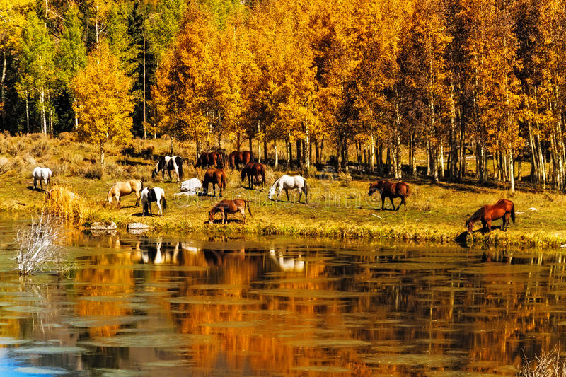 Pferde durch Wasser im Fall stockbilder