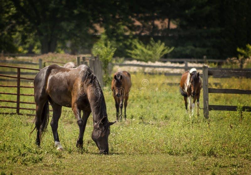 Pferde in einer Weide stockbilder