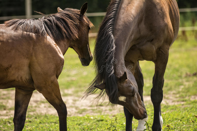 Pferde in einer Weide lizenzfreies stockfoto