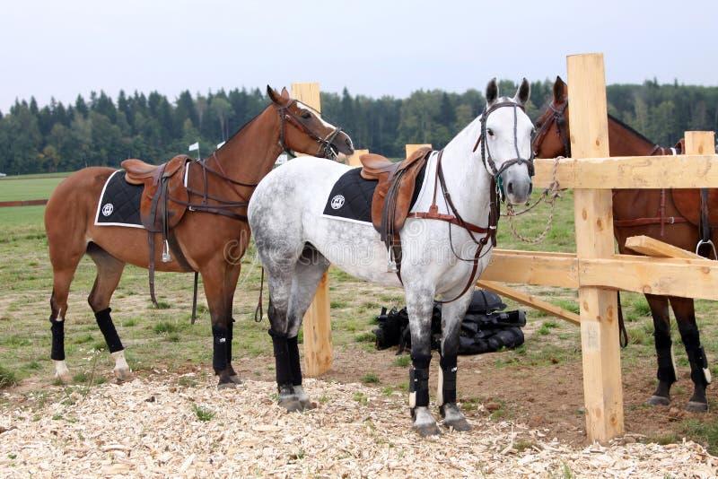 Pferde für Polo moskau 05 09 2009 lizenzfreie stockfotografie