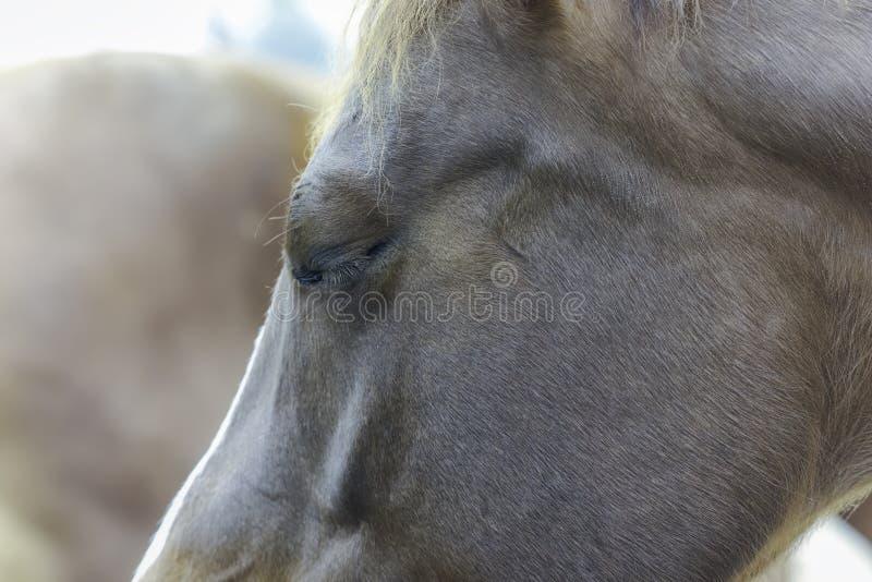 Pferde gehen nahes oben des Auges voran, das geschlossen ist stockbild